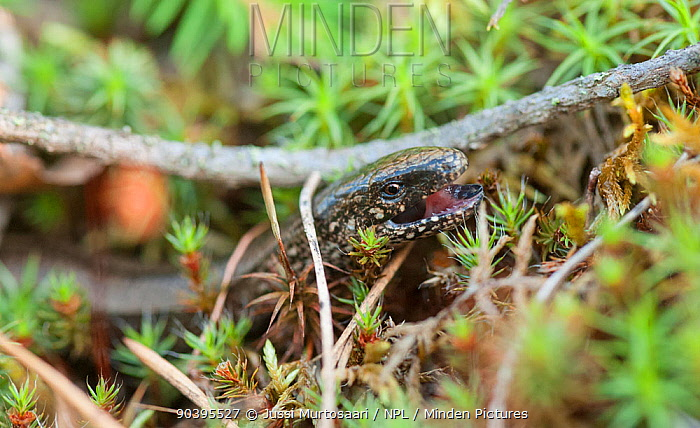 Slow worm (Anguis fragilis) female showing teeth, South Karelia, southern Finland, July  -  Unknown photographer