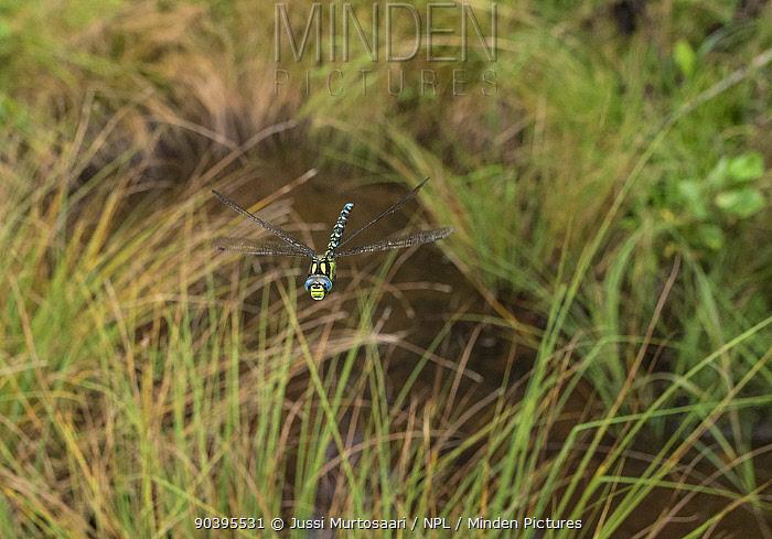 Southern Hawker (Aeshna cyanea) flying in habitat, Joutsa (formerly Leivonmaki), Finland, August  -  Unknown photographer