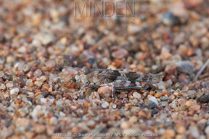 Grasshopper (Sphingonotus caerulans) female, southern Finland, September  -  Unknown photographer