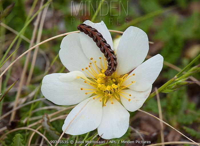 Noctuid moth (Sympistis nigrita) larva feeding on Mountain Avens (Dryas octopetala) Lapland, Finland, July  -  Unknown photographer