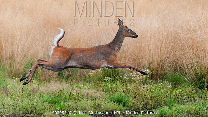 White-tailed deer (Odocoileus virginianus) running, in mid moult, Finland, September  -  Unknown photographer