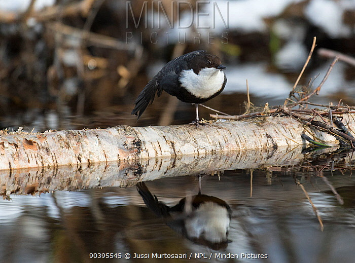 White-throated Dipper (Cinclus cinclus cinclus) stretching wings, central Finland, March  -  Unknown photographer