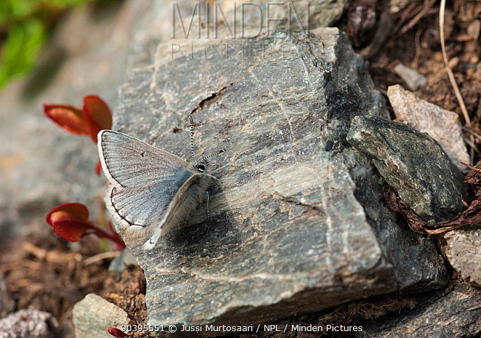 Arctic blue butterfly (Plebeius glandon) male on rock, Lapland, Finland, July  -  Unknown photographer