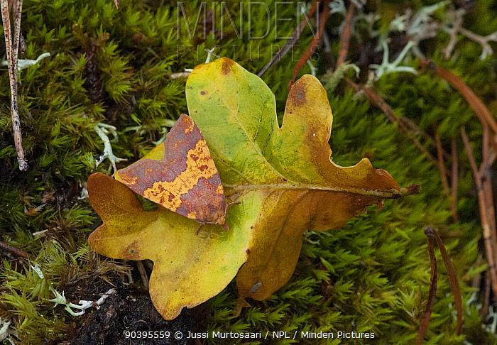 Barred sallow moth (Tiliacea aurago) on oak leaf in autumn, Aland Islands, Finland, September  -  Unknown photographer
