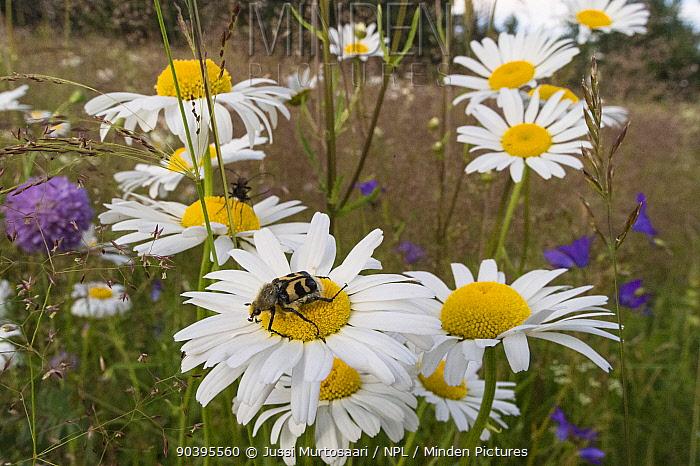 Bee beetle (Trichius fasciatus) on Ox eye daisies (Leucanthemum vulgare) Joutsa (formerly Leivonmaki), Finland, June  -  Unknown photographer