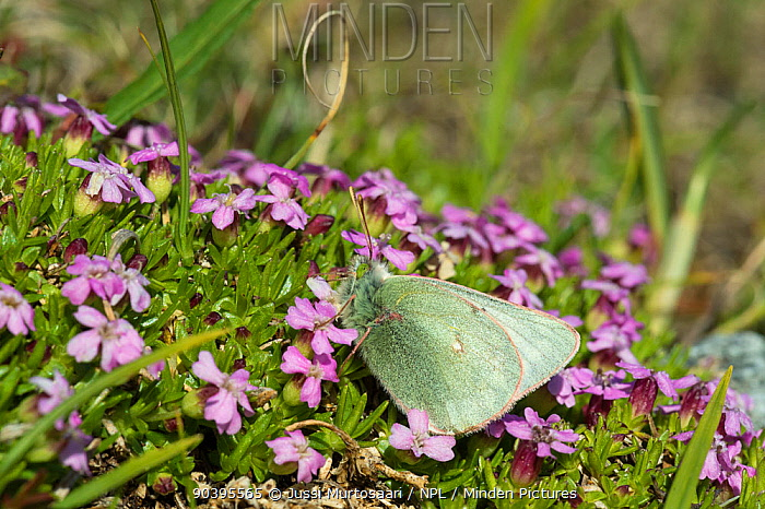 Booth's Sulphur (Colias tyche) female feeding, Lapland, Finland, July  -  Unknown photographer