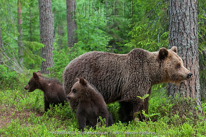 European brown bear (Ursus arctos arctos) female with two young cubs, northern Finland, July  -  Unknown photographer