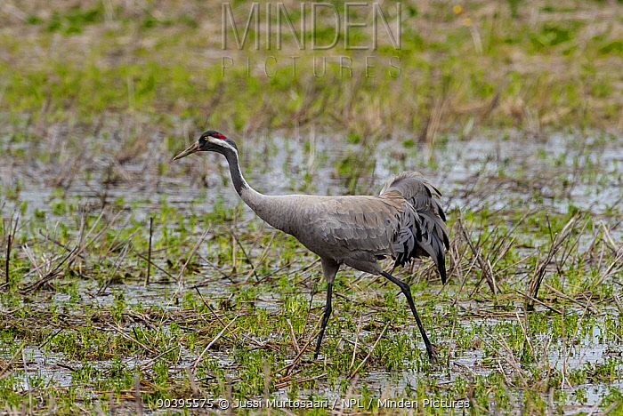 Common Crane (Grus grus) adult in wetland, central Finland, May  -  Unknown photographer