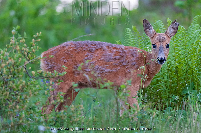 European roe deer (Capreolus capreolus) mid-moult, Aland Islands, Finland, May  -  Unknown photographer
