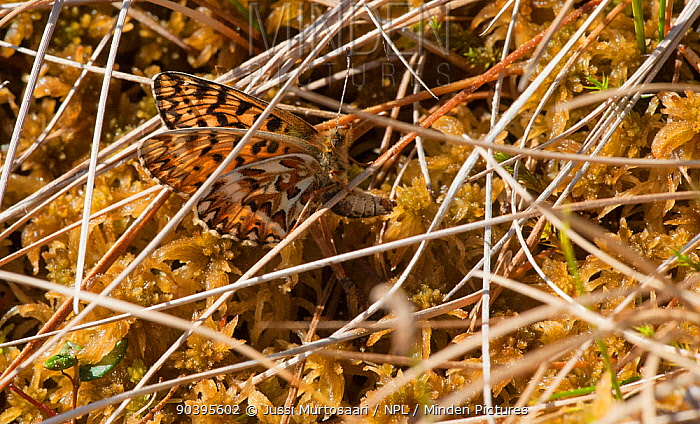 Freija Fritillary butterfly (Boloria, Clossiana freija) female laying eggs, central Finland, May  -  Unknown photographer