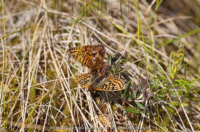 Frigga Fritillary butterfly (Boloria, Clossiana frigga) male and female, central Finland, June  -  Unknown photographer