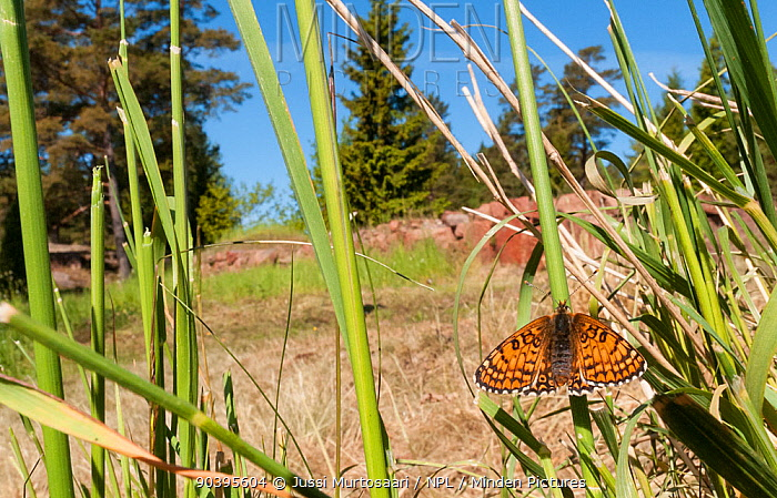 Glanville Fritillary butterfly (Melitaea cinxia) newly emerged female in habitat, Aland Islands, Finland, May  -  Unknown photographer