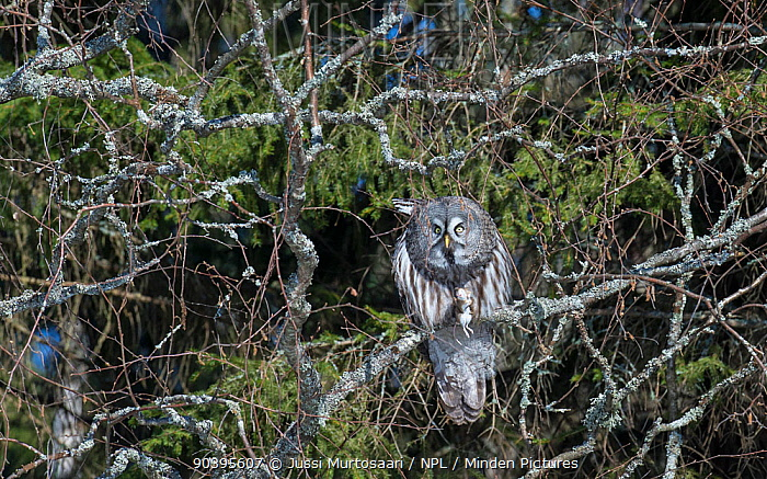 Great Grey Owl (Strix nebulosa) with mouse prey, southern Finland, April  -  Unknown photographer