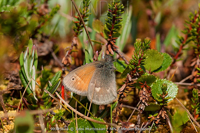 Large Heath butterfly (Coenonympha tullia) central Finland, June  -  Unknown photographer
