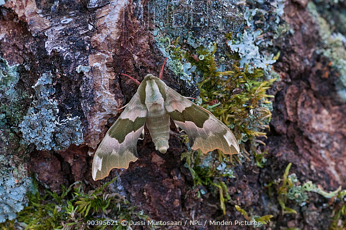 Lime Hawk-moth (Mimas tiliae) Aland Islands, Finland, May  -  Unknown photographer