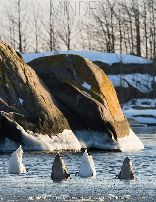Mute Swans (Cygnus olor) foraging, southwest Finland, February  -  Unknown photographer