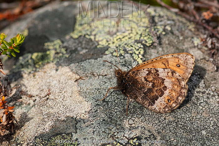 Norse Grayling butterfly (Oeneis norna) resting on a stone, Lapland, Finland, July  -  Unknown photographer