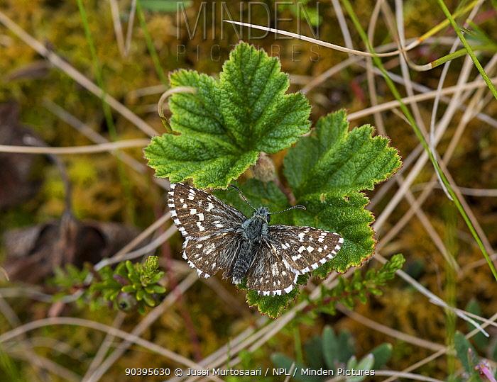 Northern Grizzled Skipper butterfly (Pyrgus centaureae) on a leaf of Bramble (Rubus chamaemorus) Joutsa (formerly Leivonmaki), Finland, June  -  Unknown photographer