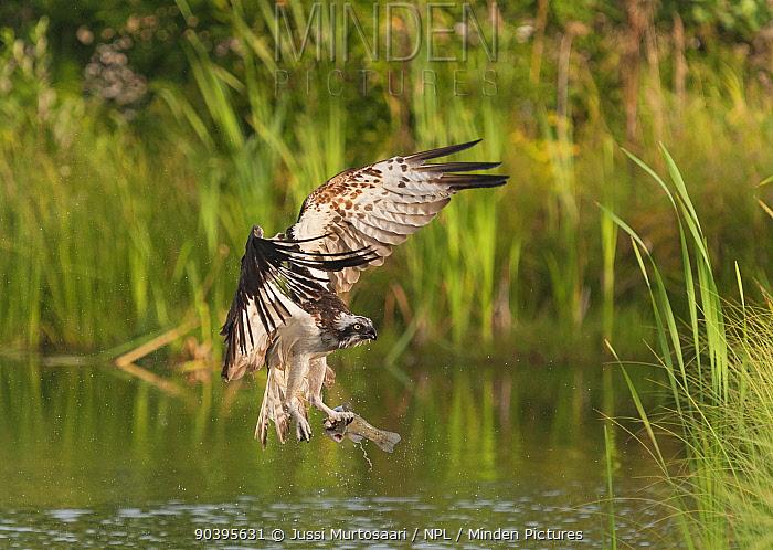 Osprey (Pandion haliaetus) catching fish, Pirkanmaa, Finland, August  -  Unknown photographer