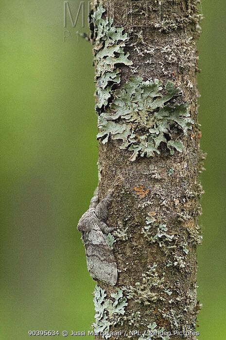 Pale Tussock (Calliteara pudibunda) male moth resting on tree trunk well camouflaged amongst lichen, South Karelia, southern Finland, August  -  Unknown photographer