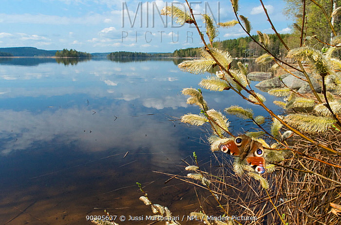 Peacock Butterfly (Inachis io) on willow by lake, Finland, May  -  Unknown photographer