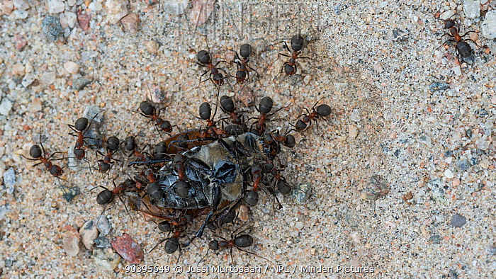 Red Wood Ants (Formica rufa) predating a beetle, Joutsa (formerly Leivonmaki), Finland, July  -  Unknown photographer