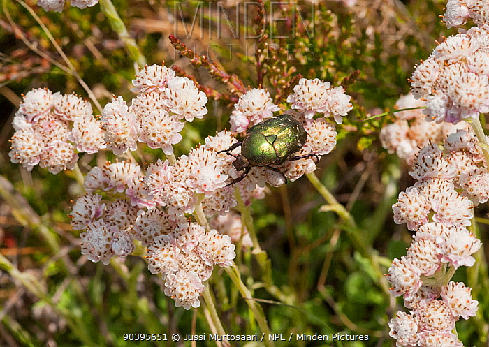 Rose-chafer (Protaetia cuprea) on Mountain Everlasting (Antennaria dioica) northern Finland, June  -  Unknown photographer