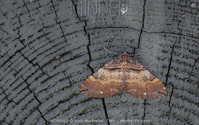 Shoulder Stripe moth (Earophila badiata) male, Aland Islands, Finland, May  -  Unknown photographer