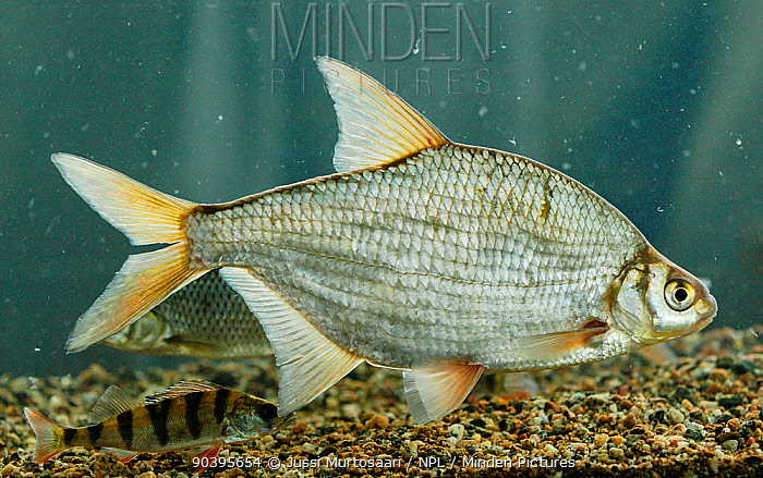 Silver bream (Blicca bjoerkna) and Perch (Perca fluvitalis) in aquarium, central Finland, May  -  Unknown photographer