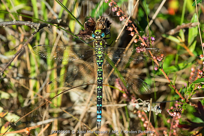 Southern Hawker, Blue Hawker (Aeshna cyanea) Aland Islands, Finland, September  -  Unknown photographer