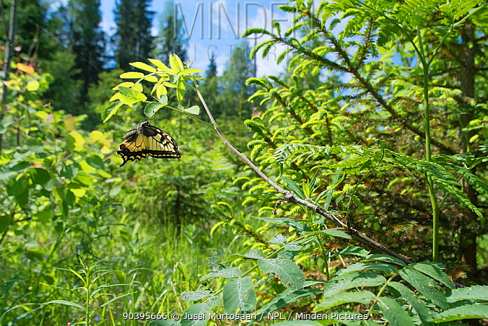 Swallowtail butterfly (Papilio machaon) flying in habitat, central Finland, June  -  Unknown photographer