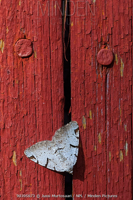 V-Moth (Macaria wauaria) on fence, South Karelia, southern Finland, July  -  Unknown photographer