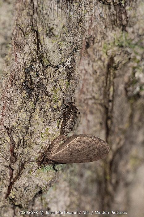 Winter Moth (Operophtera brumata) pair copulating, female wingless, Aland Islands, Finland, October  -  Unknown photographer