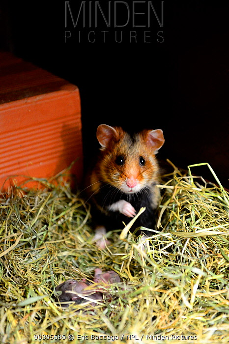 Female common hamster (Cricetus cricetus) with her newborn babies, age 2 days, Alsace, France, captive  -  Eric Baccega/ npl