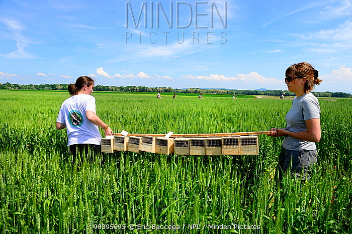 Scientists from the French Wildlife Department (ONCFS) with cages of Common hamsters (Cricetus cricetus) in a wheat field for release, Grussenheim, Alsace, France, June 2013  -  Eric Baccega/ npl