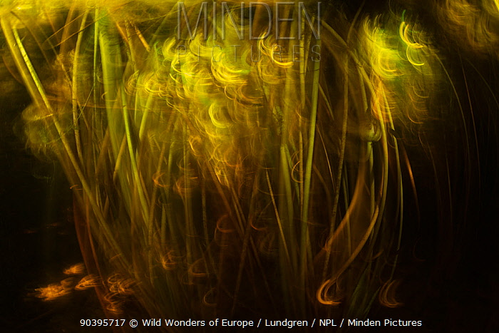 Underwater blurred view Waterlily (Nuphar lutea) stems along the banks of the Danube Delta, Romania, June  -  WWE/ Lundgren/ npl