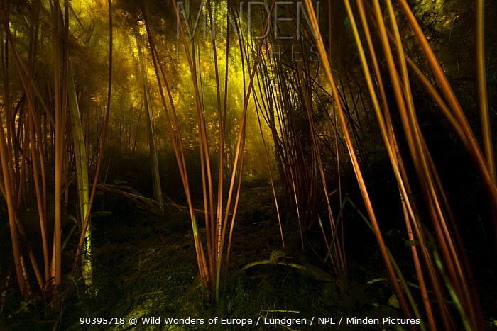 Stems of Waterlilies (Nuphar lutea) underwater along the banks of the rivers in the Danube Delta, Romania, June  -  WWE/ Lundgren/ npl
