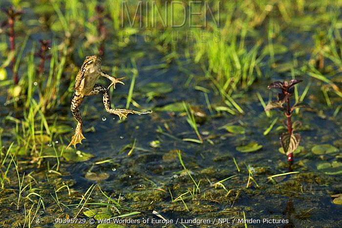 Marsh frogs (Pelophylax ridibundus) jumping, one with its mouth open, Danube Delta, Romania, June  -  WWE/ Lundgren/ npl