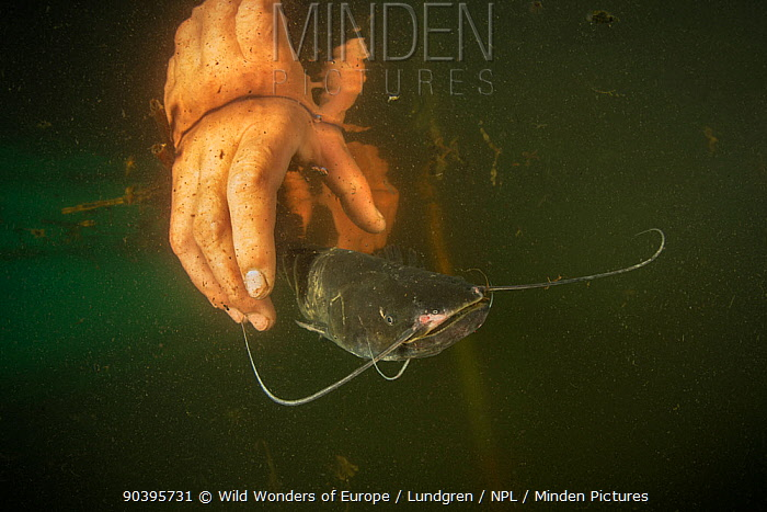 Young Wels catfish (Silurus glanis) caught in a fyke net is released back to the shallow and turbid lake by the fisherman, Danube Delta, Romania, June  -  WWE/ Lundgren/ npl