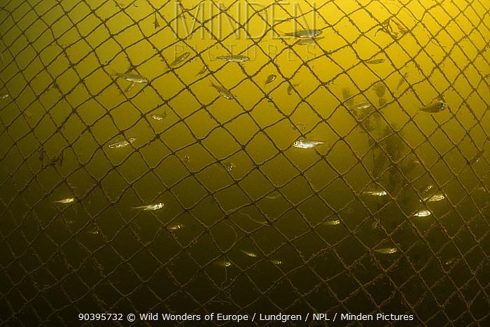 Small fish (possibly Leucaspius delineatus) in swimming around a fishing net in shallow lake, Danaube Delta, Romania, June  -  WWE/ Lundgren/ npl