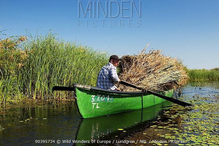 Romanian farmer harvesting Reeds (Phragmites communis) Danube Delta Rewilding Area, Romania, June 2013  -  WWE/ Lundgren/ npl