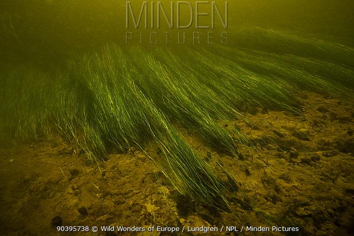 Current pulling weeds possibly Potamogeton sp, along riverbed, Danube Delta, Romania, June  -  WWE/ Lundgren/ npl