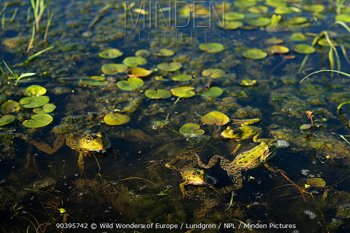 Pool frogs (Pelophylax lessonae) near Crisan village, Danube Delta, Romania, June  -  WWE/ Lundgren/ npl