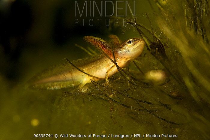 Smooth newt (Lissotriton vulgaris) larvae, Danube Delta, Romania, June  -  WWE/ Lundgren/ npl