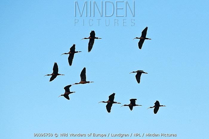 Ten Glossy ibises (Plegadis falcinellus) in flight, Danube Delta, Romania, June  -  WWE/ Lundgren/ npl