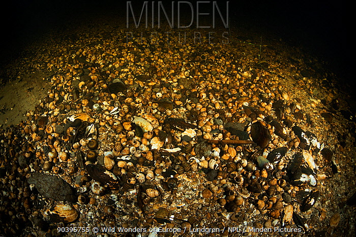 Riverbed covered in empty shells in a deeper basin of a tributary of the old Danube, Danube Delta, Romania, June  -  WWE/ Lundgren/ npl
