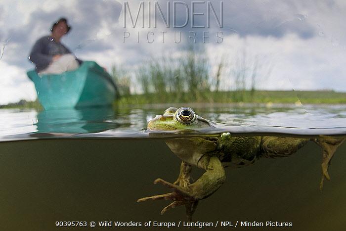 Pool Frog (Pelophylax lessonae) split level shot with Christian Mititelu watching from boat, near Crisan village, Danube Delta, Romania, June 2013  -  WWE/ Lundgren/ npl