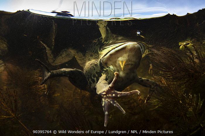 Pool Frog (Pelophylax lessonae) underwater, near Crisan village, Danube Delta, Romania, June  -  WWE/ Lundgren/ npl