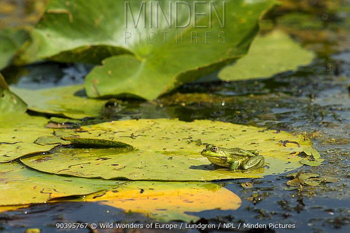 Pool Frog (Pelophylax lessonae) on lily pad, Crisan village, Danube Delta, Romania, June  -  WWE/ Lundgren/ npl