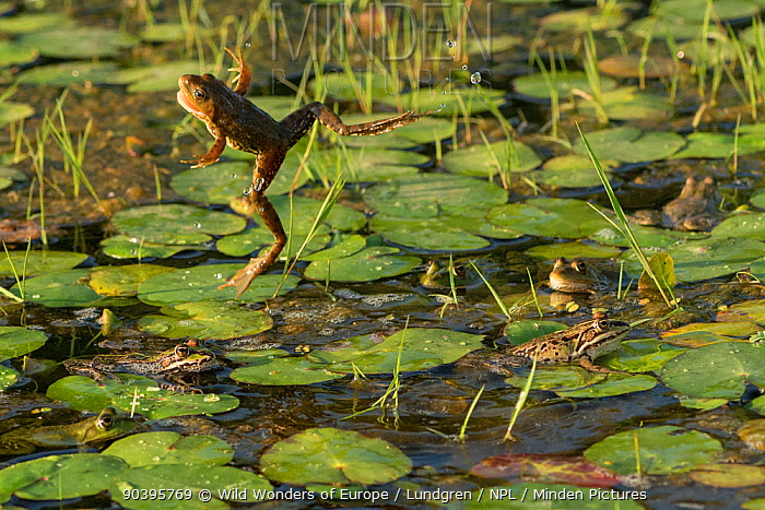 Marsh frog (Pelophylax ridibundus) jumping amongst lilies, Danube Delta, Romania, June  -  WWE/ Lundgren/ npl
